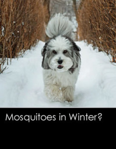 360201202-mosquitoesinwinter